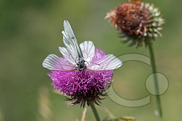 100705-109 Schmetterling Nachtfalter Tagfalter