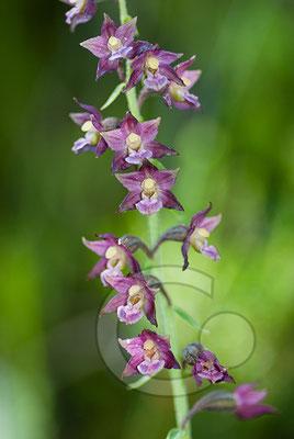100705-057 schwarz rote Sitter Orchidee