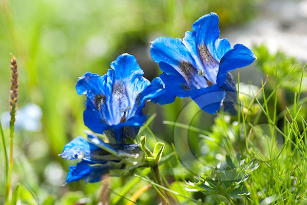 100710-092 blauer Enzian