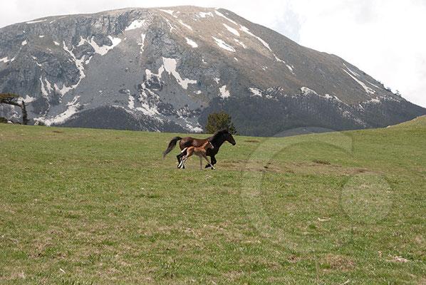 110522_DSC0275 Wildpferd Pollino