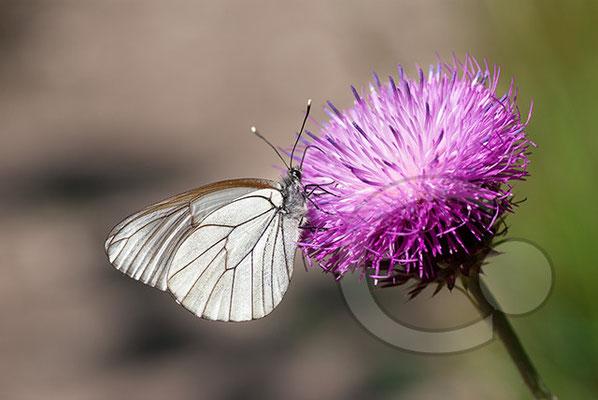 100705-077 Schmetterling Nachtfalter Tagfalter
