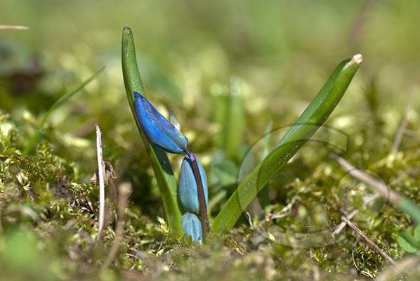 100322_DSC0039 Scilla sibirischer Blaustern