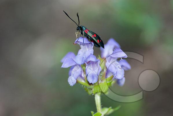 100705-042 Schmetterling Nachtfalter Tagfalter