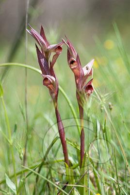 110525_DSC0187 Pflugscharzungenstendel Orchidee
