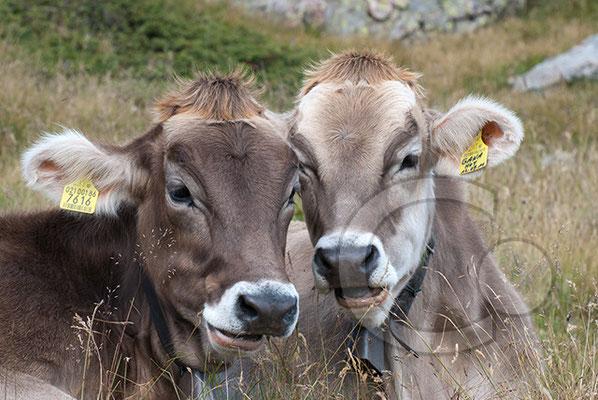 120809_DSC0749 Rinder Südtirol Italien