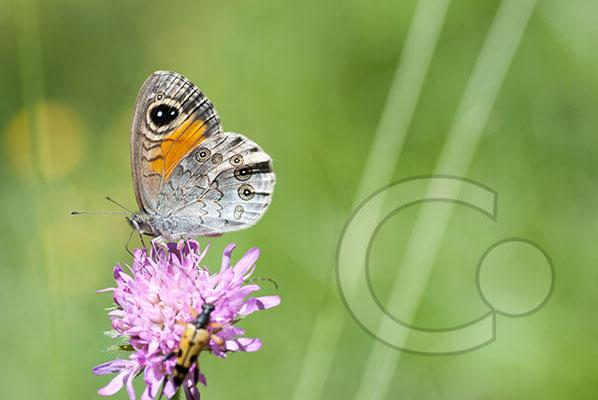 100705-070 Schmetterling Nachtfalter Tagfalter