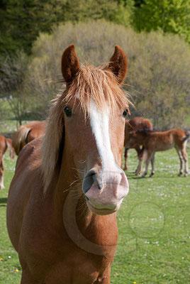 110522_DSC0204 Wildpferd Pollino