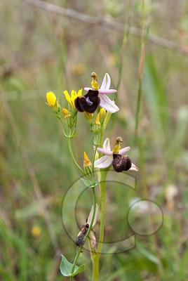 110523_DSC0414 Ragwurz Orchidee