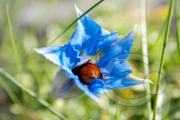 111002_DSC0265 blauer Enzian mit Hummel