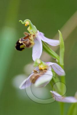 110602_DSC0703 Ragwurz Orchidee