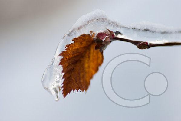 101219_DSC0197 Blatt Eis Winter