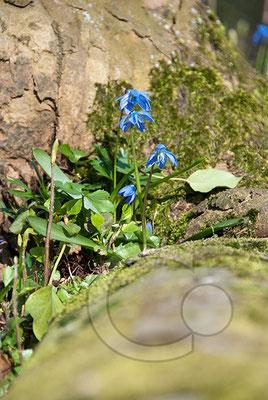 090401-_DSC0019 Scilla sibirischer Blaustern