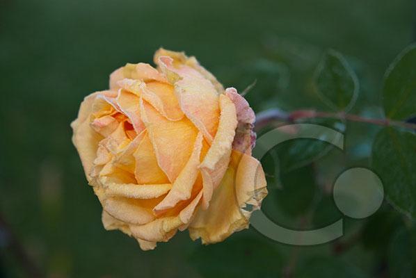 091202_DSC0014 Rose Raureif