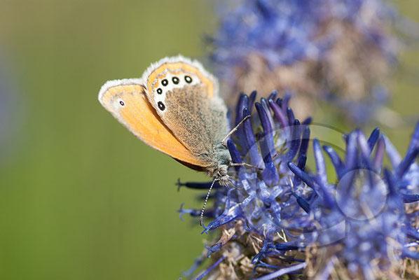 110706_DSC0980 Schmetterling Nachtfalter Tagfalter