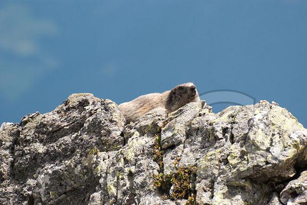 120808_DSC0576 Murmeltier Südtirol Italien