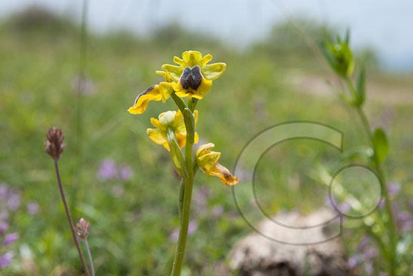 110526_DSC0260 gelbe Ragwurz Orchidee