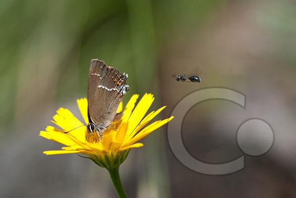 100705-073 Schmetterling Nachtfalter Tagfalter