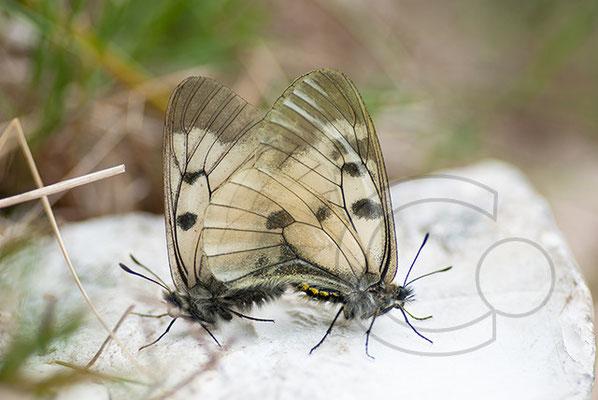110601_DSC0549 Schmetterling Nachtfalter Tagfalter
