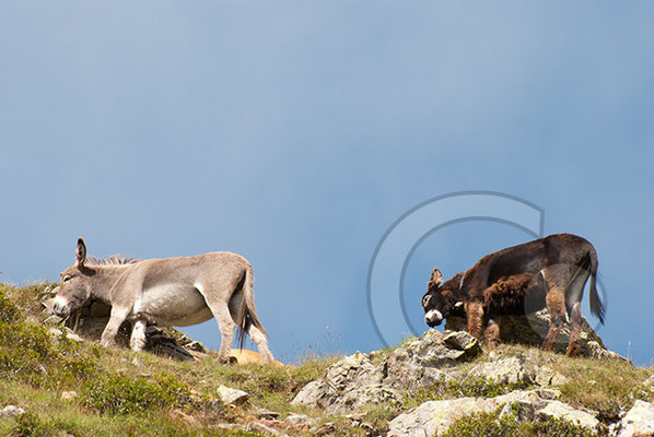 120807_DSC0430 Esel Südtirol Italien