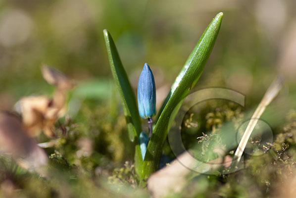 110319_DSC0120 Scilla sibirischer Blaustern