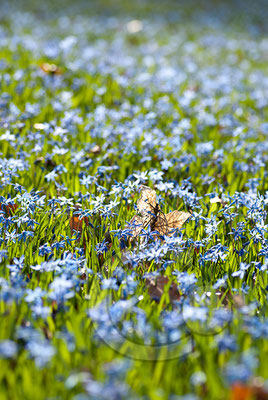 100330_DSC0061 Scilla sibirischer Blaustern