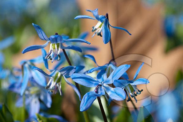 100330_DSC0051 Scilla sibirischer Blaustern