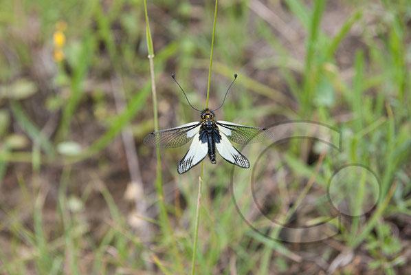 110523_DSC0406 Schmetterling Nachtfalter Tagfalter