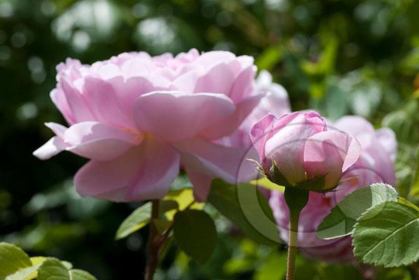 100615_DSC0114 Rose