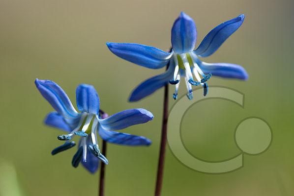 100406_DSC0049 Scilla sibirischer Blaustern
