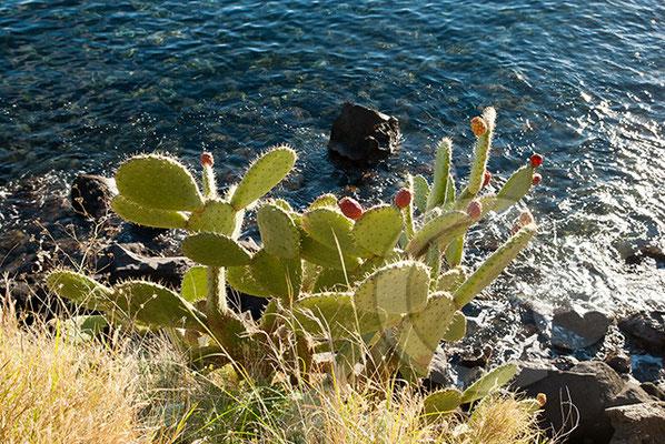 110105__DSC0594 Kaktus Lipari Äolische Inseln