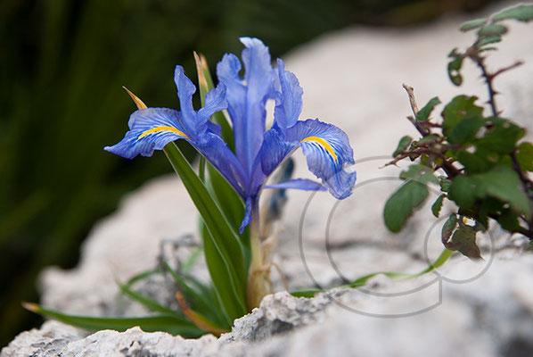 110101_DSC0185 Iris
