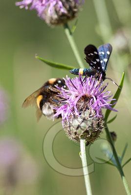 100705-086 Schmetterling Nachtfalter Tagfalter