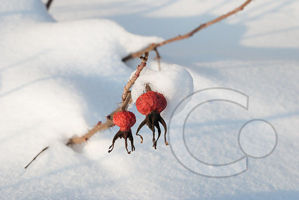 100108_DSC0052 Hagebutte Schnee