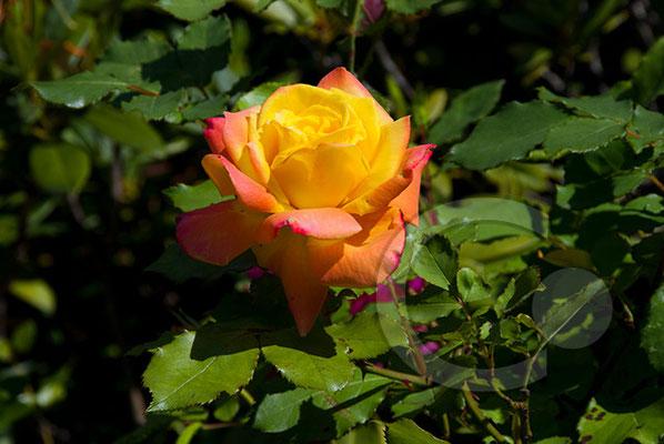 090523_DSC0004 Rose