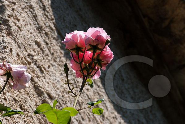 100704-096 Rose