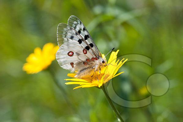 100705-122 Schmetterling Nachtfalter Tagfalter