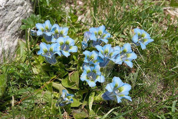 100707-100 blauer Enzian