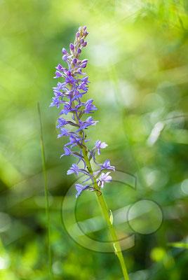 100705-062 Orchidee