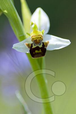 110525_DSC0194 Ragwurz Orchidee