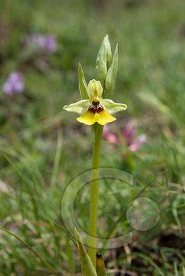 110526_DSC0270 Ragwurz Orchidee