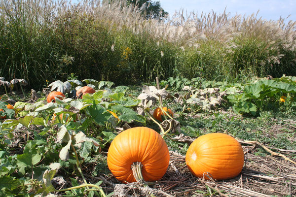 Virginia Pumpkins in Field