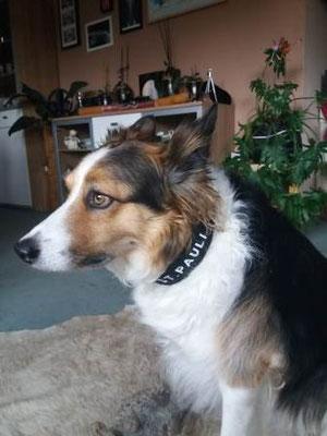Lederhalsband Hund Bolleband