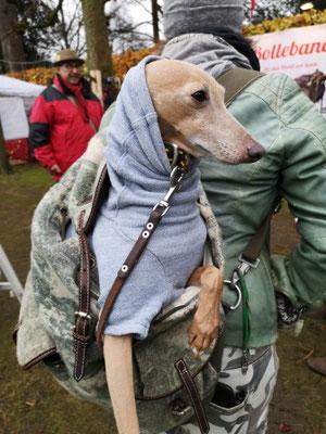 Windspiel im Rucksack mit Lederhalsband von Bolleband Lederhalsband Hund