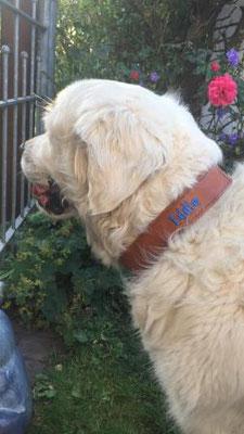 Golden retriever Halsband Leder personlisiert Hund Bolleband