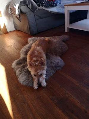 Kleiner Hund auf Teppich mit Lederhalsband Bolleband