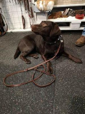 liegender Hund braun Halsband Leder Bolleband