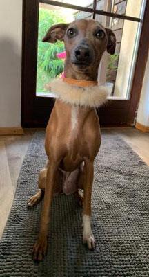 Windspiel mit Lederhalsband Hund Bolleband