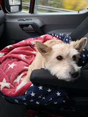 Hund auf Kissen mit Lederhalsband Bolleband