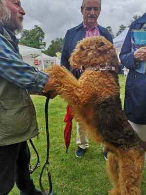 Airdale Terrier Halsband Leder Bolleband