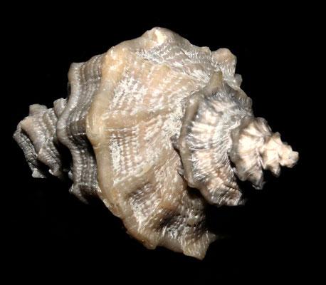 Heteropurpura polymorpha, Vignola (MO), Pliocene